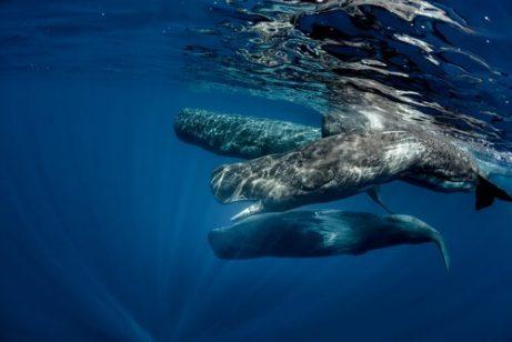 향유 고래 무리