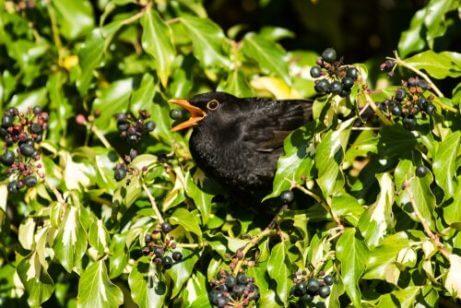 덤불 속 검은 새