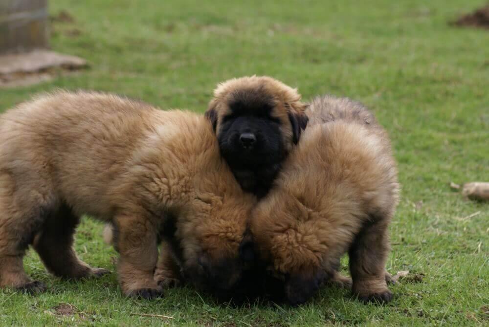 에스트렐라 마운틴 독: 크고 부지런한 개