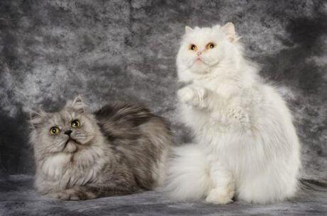 터키시앙고라 고양이의 털 가꾸기