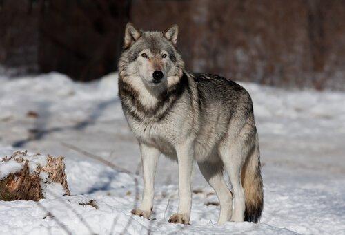 수명이 짧은 늑대