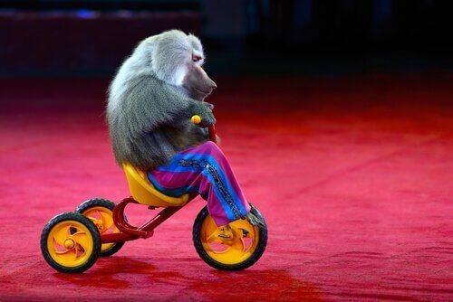 동물 학대: 옷을 입은 원숭이는 웃기지 않다