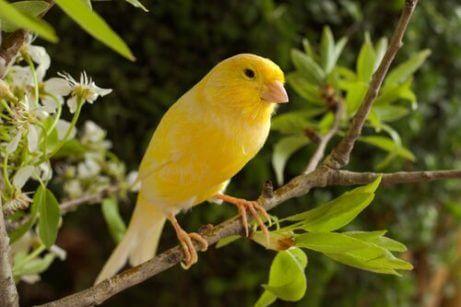 가장 많이 노래하는 반려새 품종 카나리아