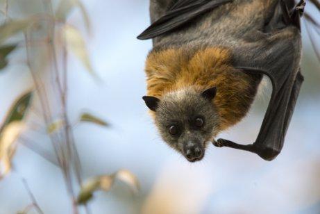 회색머리날여우박쥐 박쥐를 구하는 호주 여성