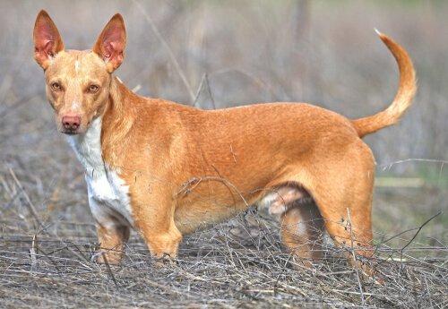 스패니시 포덴코는 다재다능한 사냥개