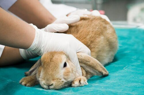 토끼의 출혈열