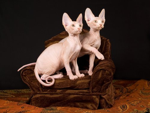 알레르기를 스핑크스 고양이