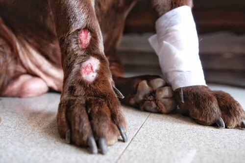 피부염에 걸린 개