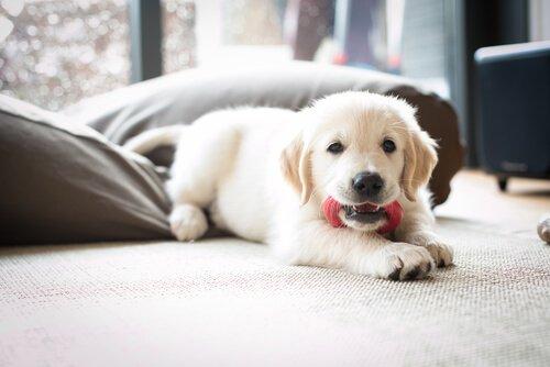 침대 위 강아지