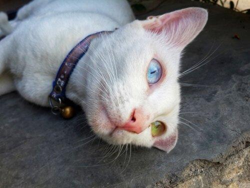 양쪽 눈동자 색이 다른 카오마니 고양이