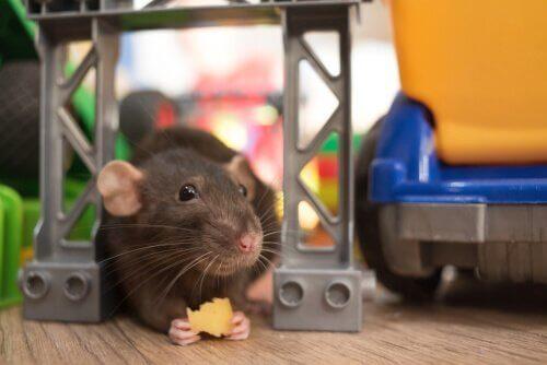 애완용 쥐의 건강