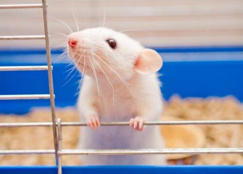 반려동물로 쥐를 사육하는 방법