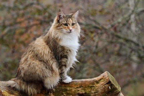 몸집이 크기로 노르웨이 숲 고양이
