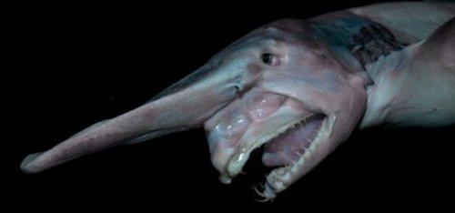 고블린 상어의 주요 특징과 서식지