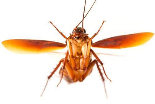 날아다니는 바퀴벌레