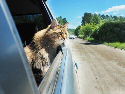 고양이가 자동차에 익숙해지도록 만드는 방법