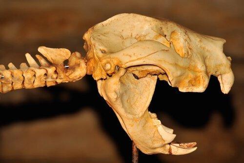 유대류 사자의 화석