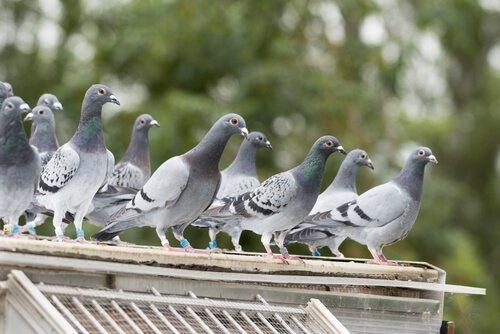 지붕에 걸쳐앉은 비둘기 떼