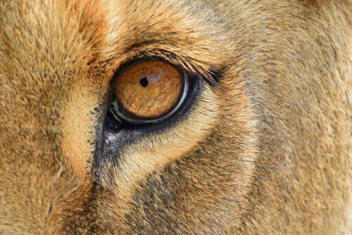 아프리카로 돌아간 서커스 암사자, 날라