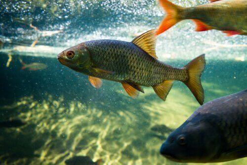 잉어 및 연못 물고기 키우기