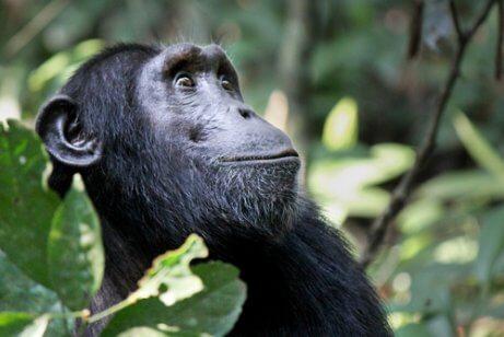 침팬지의 문화가2