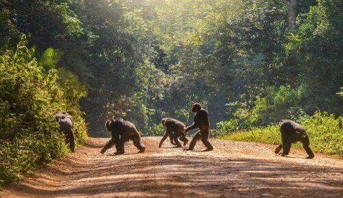 사라지는 침팬지 문화