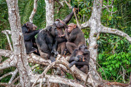침팬지의 문화가3
