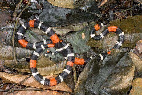 경계색 산호 뱀