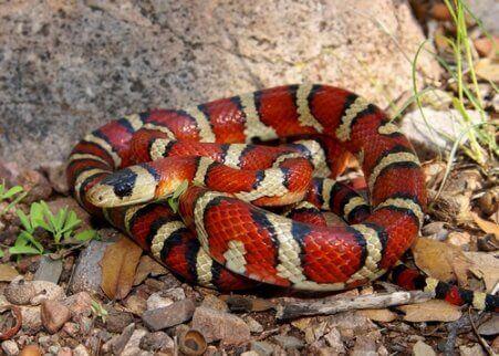 경계색 가짜 산호 뱀