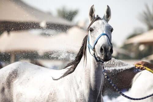 여름철에 말의 체온을 낮춰 주는 법