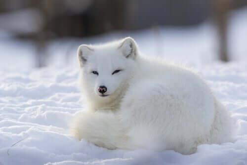 북극여우는 어떤 동물일까?