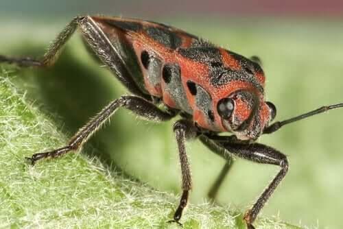샤가스병을 옮기는 곤충, 빈추카