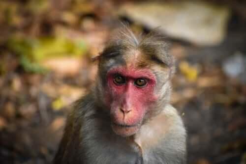 히말라야원숭이 위험