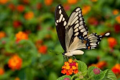 세상에서 가장 크고 희귀한 검은제비꼬리 나비
