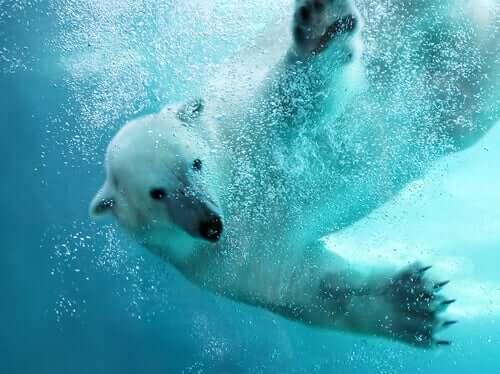 북극곰 수영