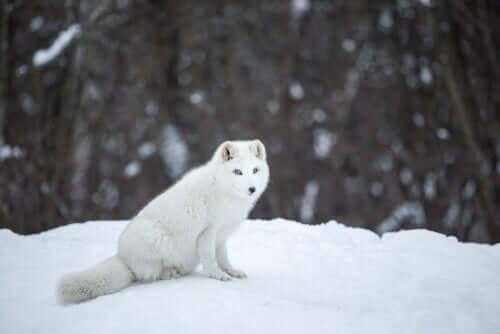 북극여우의 특징
