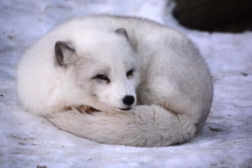 북극여우 털