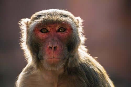 인도의 히말라야원숭이 문제