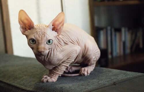 코호나고양이는 어떤 고양이일까?