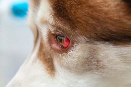 개에게 발생하는 결막하출혈을 치료하는 방법