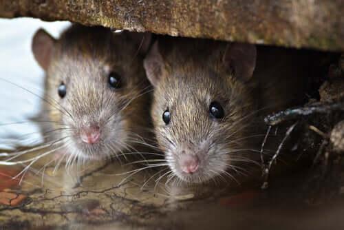 쥐의 지능