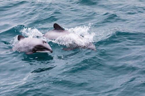 뉴질랜드의 흰머리돌고래는 어떤 특징이 있을까?