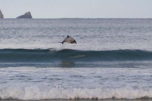 흰머리 돌고래 특징