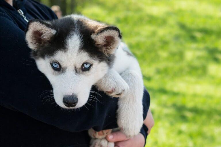 시베리안 허스키의 눈이 파란 이유