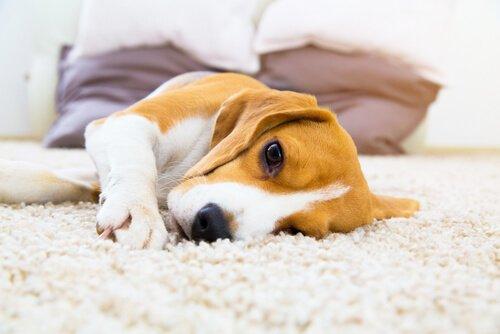 간질을 앓는 개에게 보이는 증상 및 치료 방법