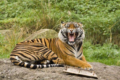 호랑이의 하위 종에 속하는 호랑이 5종