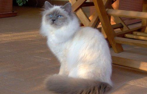 성스러운 버만 고양이에 대하여
