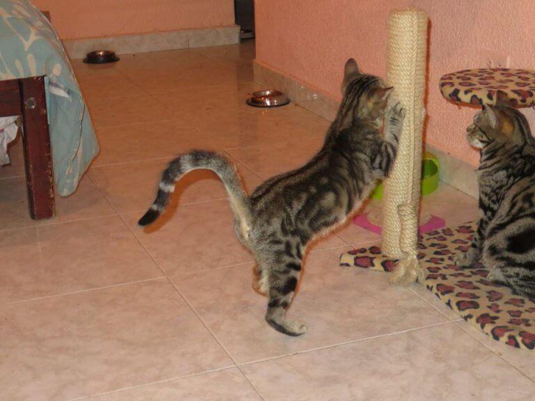 아프리카 고양이인 소코케 고양이에 대한 모든 것