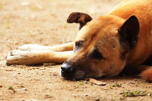 개 디스템퍼의 증상, 치료 및 감염