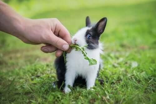 드워프 토끼 섬유소